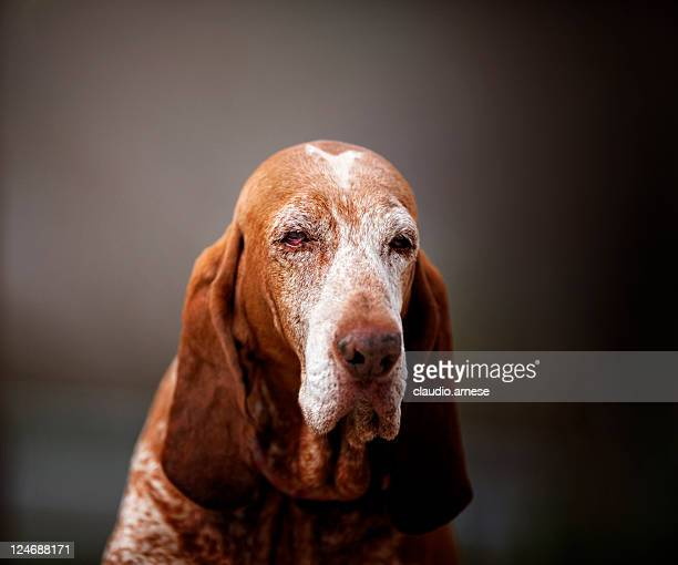 Old Bloodhound Portrait. Color Image