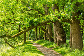 A row of old brown beech trees with hanging branches above a walking rail through the park of an ancient estate