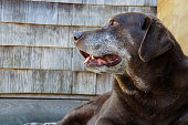 Old chocolate lab dog looking