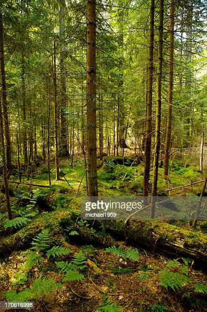 Alten Nadelwald