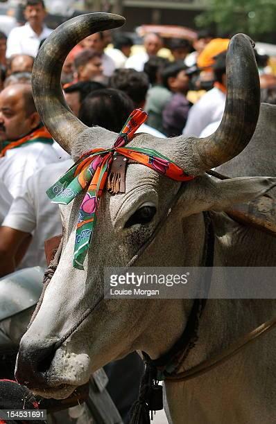 Old Delhi Cow
