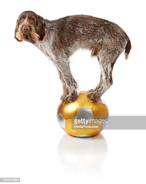Old dog doing balance trick on ball