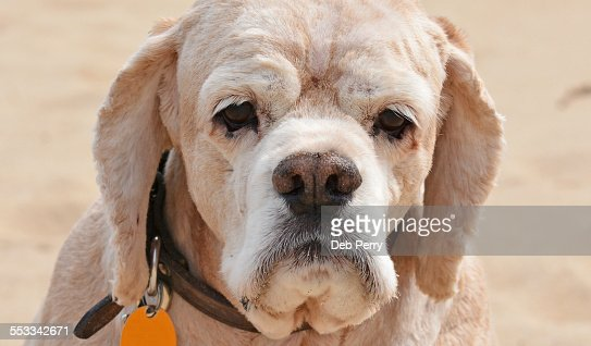 Old dog (closeup)