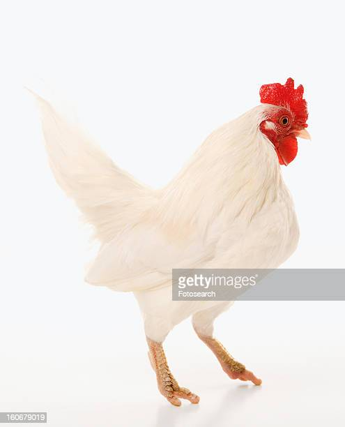 Old English Bantam rooster