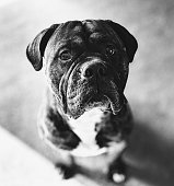 An Old English Bulldog portrait in black and white