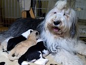 Old English Sheepdog Carmen nurses her own cubs and lion cub Parys at a private zoo in Wojciechow Poland on October 9 2014 The lion cub who was...