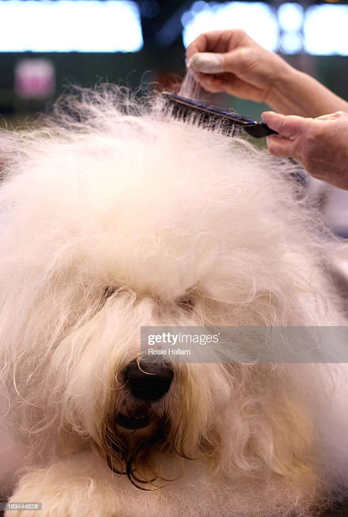 Old English Sheepdog named Tory is groomed by owner Julie Kirby during the final day at Crufts Dog Show on March 10, 2013 in Birmingham, England. During this year's four-day competition over 22,000 dogs and their owners will vie for a variety of accolades but ultimately seeking the coveted 'Best In Show'.