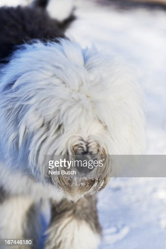 Old English sheepdog on a walk : Stock Photo