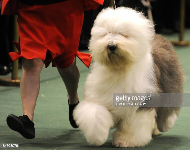 Old English Sheepdogs Stock Photos And Pictures