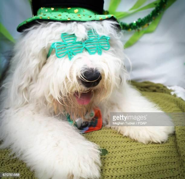 Old english sheepdog wearing a hat