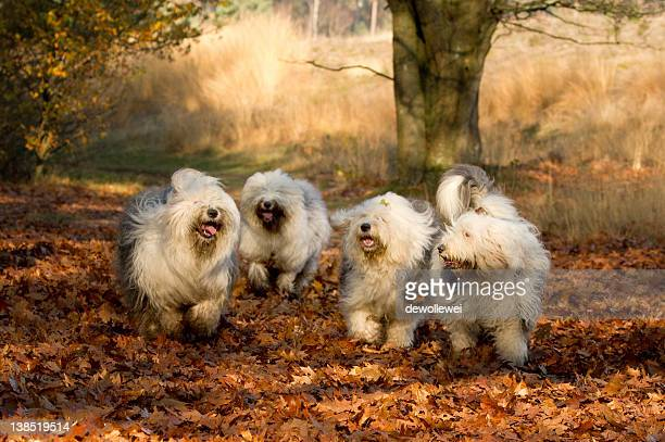 Old English Sheepdogs playing