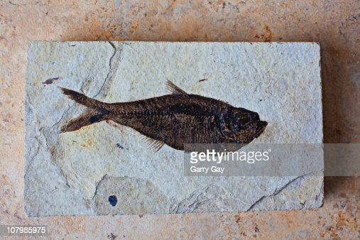 Old fish fossil : Stock Photo