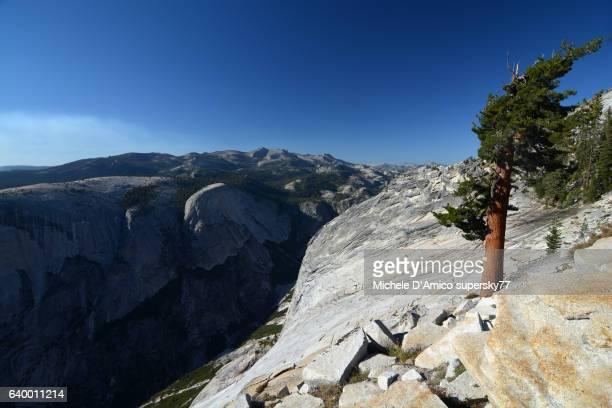 Old gnarled Jeffrey pine on granite slabs