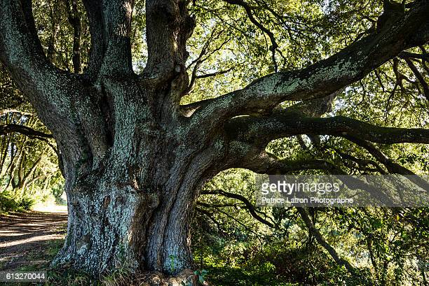 Old green oak in a park.