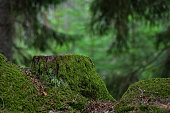 Green old and mossy stump in a green coniferous forest
