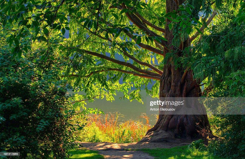 Old green tree : Stock Photo