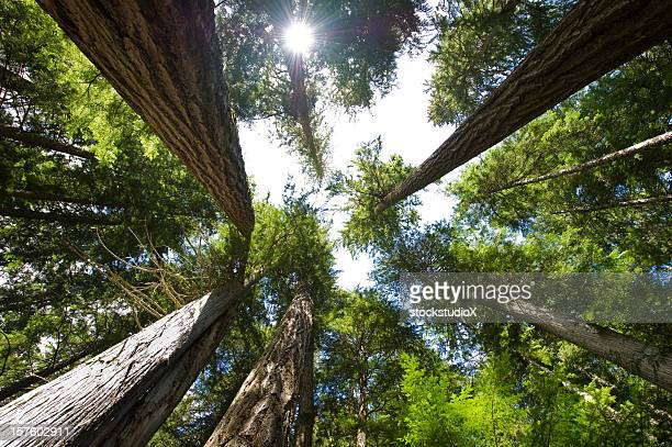 Old growth forest with tall trees