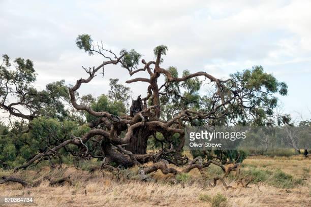 Old Gumtree