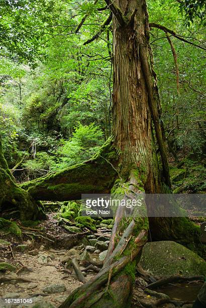 Old Japanese ceder tree in a rainforest, Yakushima
