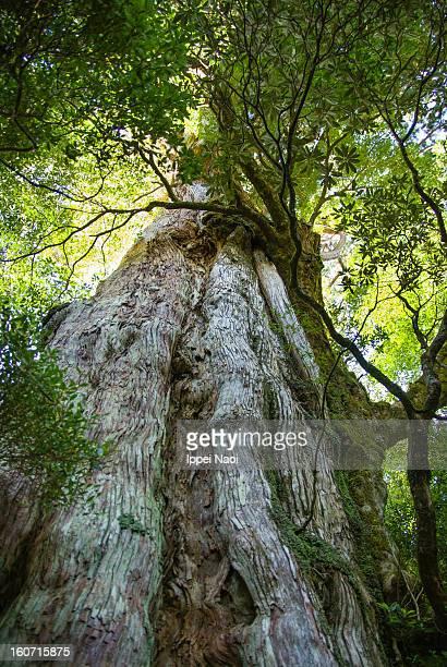 Old Japanese ceder tree in forest, Yakushima