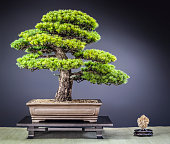 Old Japanese Zuisho White Pine Bonsai on wooden Table
