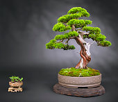 Old japanese juniper Bonsai