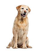 old Labrador Retriever, 11 years old, sitting and looking away from camera, isolated on white