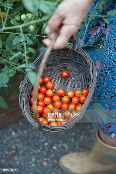 Old Lady Harvesting Cherry Tomato