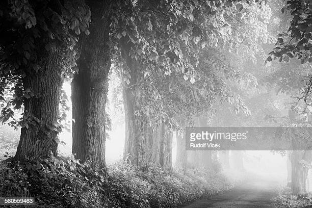 Old lime trees lining rural road