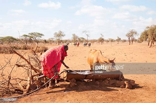 Old maasai watering his cattle in an arid landscape