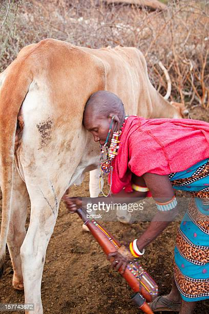 Old maasai woman milking cow.