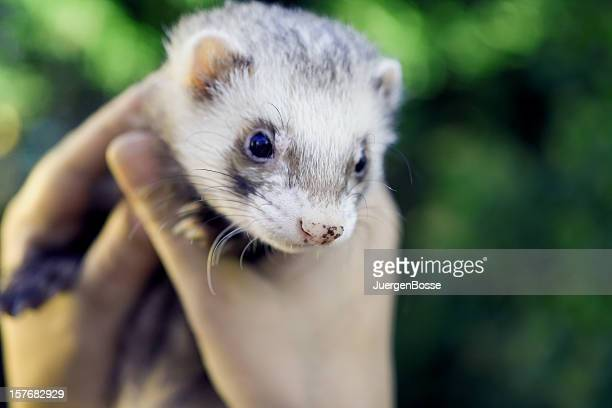 Old male ferret