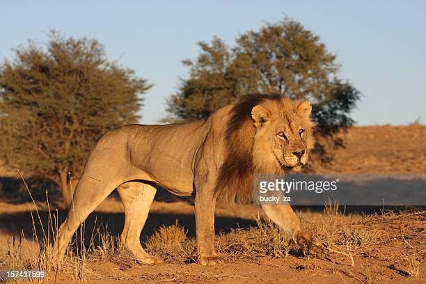 Old male lion striding on a dune, taken at surise.