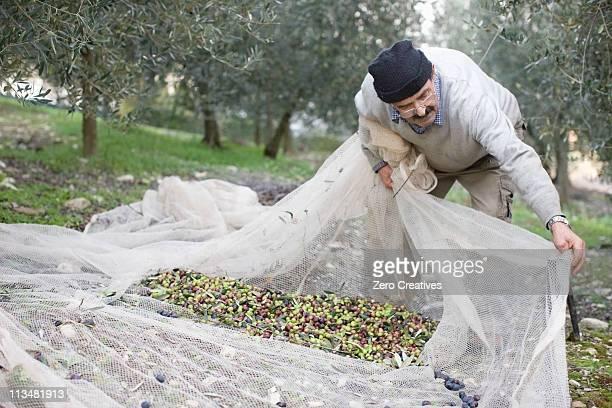 Old man harvesting olives