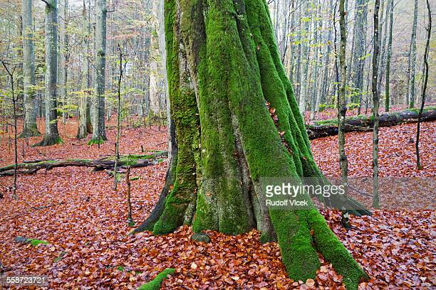 Old moss covered beech tree
