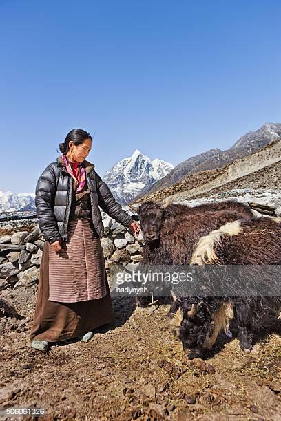 Vecchia donna hearding yaks Nepalese