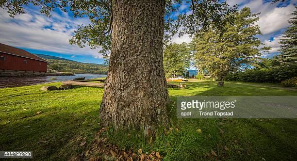 Old oak tree at the sea