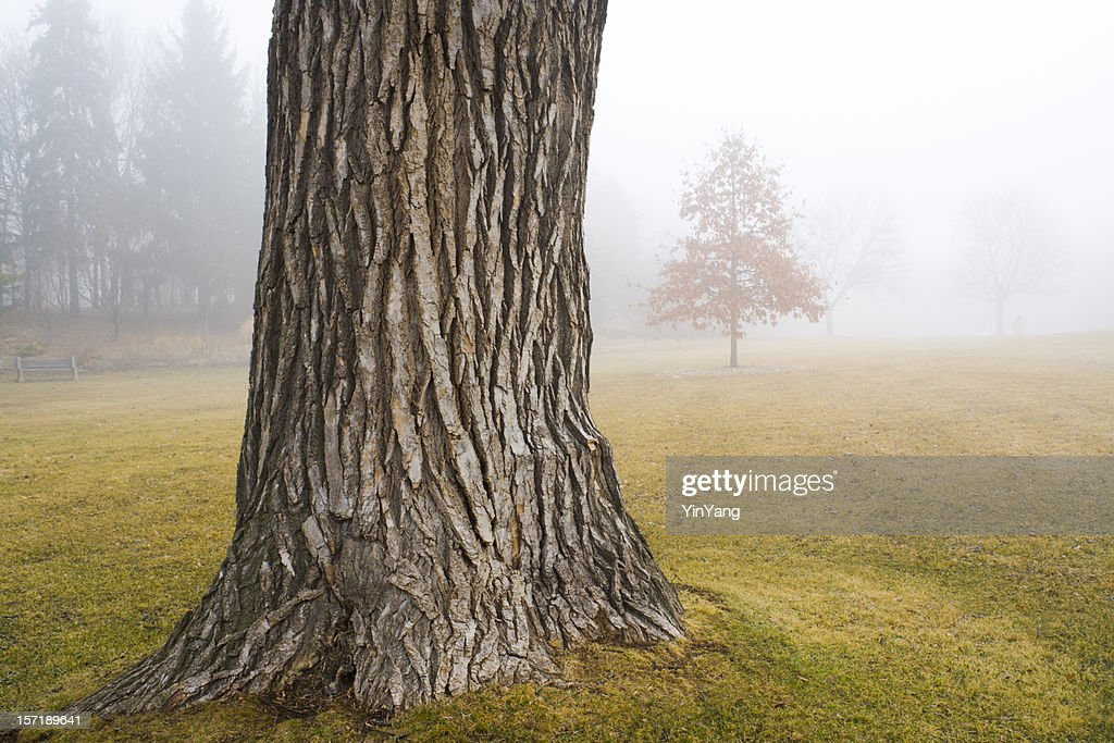 Old oak tree trunk in autumn fog at park stock photo for Tree trunk uses