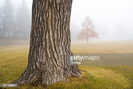 Old Oak Tree Trunk in Autumn Fog at Park