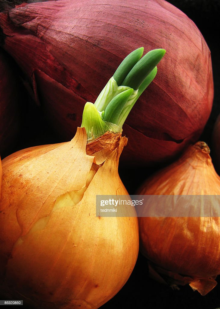 Old onions, new growth : Stock Photo