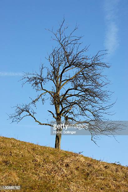 Old Pear tree (Pyrus)