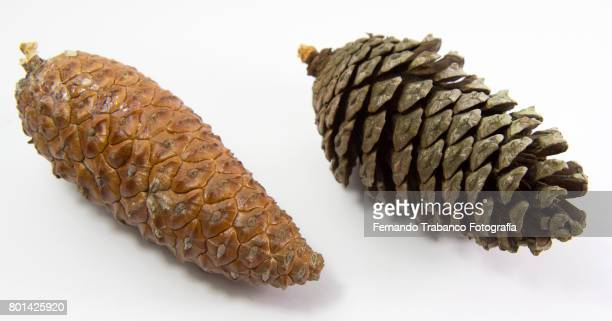 Old pine cone and young pine cone