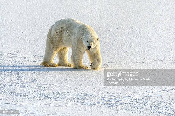old polar bear sticking out tongue