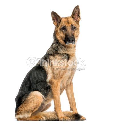 old skinny berger allemand chien assis regardant la cam ra photo thinkstock. Black Bedroom Furniture Sets. Home Design Ideas