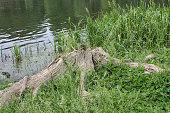 old stump on the lake