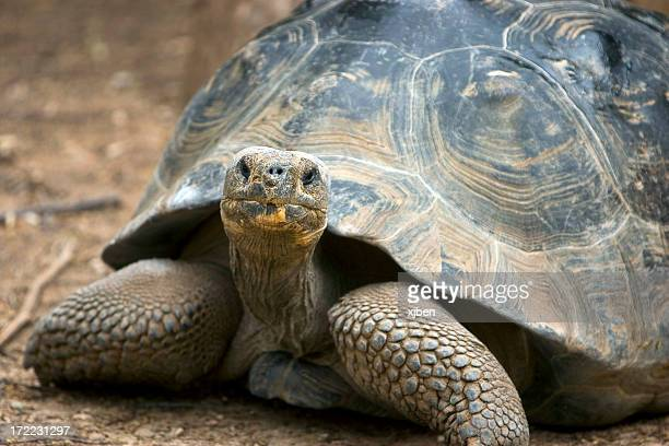 Old tortoise walking on dirt looking at camera