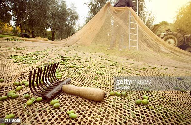 Old Traditional Olives Harvesting Tools