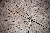 Cross section of the old tree or dead wood with back drop