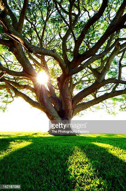 Old tree with sunlight passing through branches