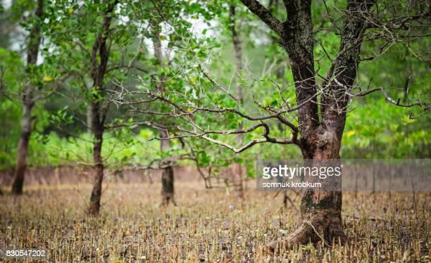 Old trees on mangrove forest coastal